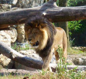lioncc